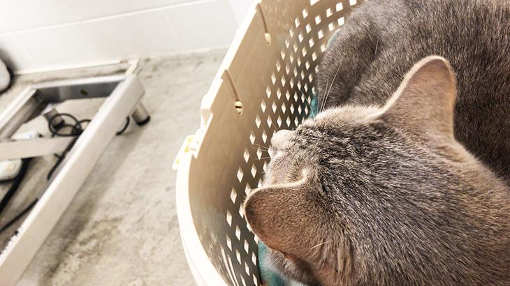 ネコと通院と膀胱炎疑い